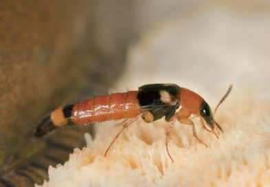5 Fakta Semut Charlie dan Cara Pengobatannya